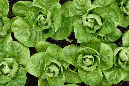 verduras verdes: Pequeña joya lechuga romana en un jardín. Vista superior. Lechugas pequeñas que crecen en una fila en un jardín. Cultivar un huerto orgánico.