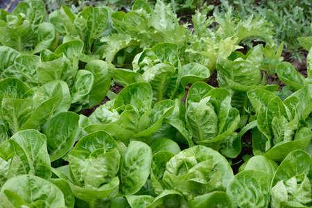 endivia: diferen tipo de lechugas crecen en un filas en un jardín. Una joya lechuga romana, escarola y rúcula salvaje. jardinería orgánica.