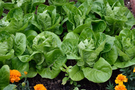angle view: Little Gem Romaine Lettuce in a garden. Angle view. Small lettuces growing in a row in a garden. Organic gardening.