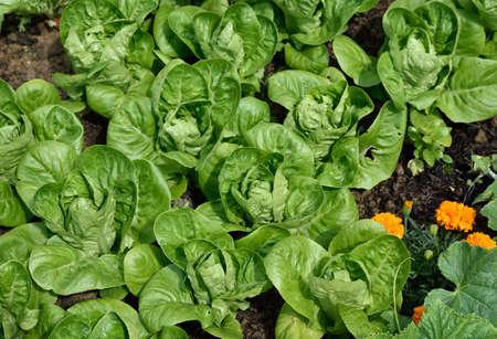 romaine lettuce: Little Gem Romaine Lettuce in a garden.