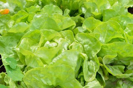 lactuca sativa: Close-up of green butterhead lettuce Lactuca sativa in a garden field. Organic gardening.