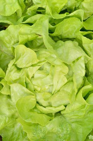 lactuca: Close-up of green, fresh butterhead lettuce Lactuca sativa. Top view, garden background