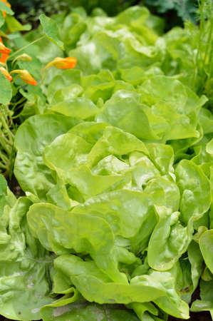 lactuca: Close-up of green butterhead lettuce Lactuca sativa in a garden field. Organic gardening.