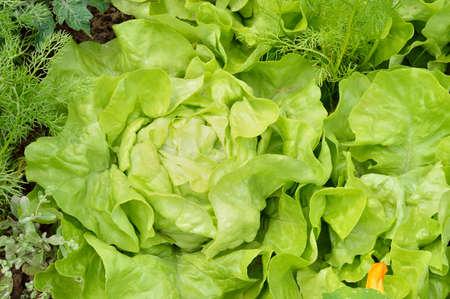 lactuca: Close-up of green butterhead lettuce (Lactuca sativa) in a garden field. Organic gardening.