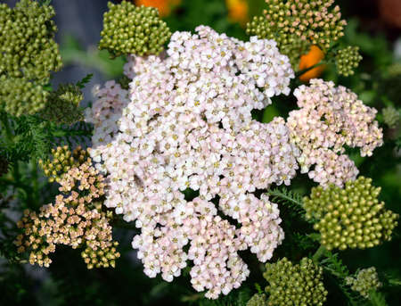 milfoil: Close up of Achillea, Yarrow in garden. Organic gardening. Herb.