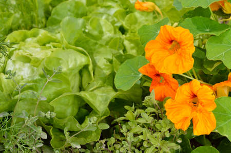 edible: Edible plants in a summer organic garden. Marjoram, nasturtium and butterhead lettuce.