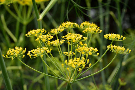 vulgare: Close up of flowering Fennel (Foeniculum vulgare). Highly aromatic and flavourful herb.