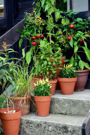 Ornamental container, vegetable garden in terracotta pots. Mirabell tomato plant, Poupila pepper plant, lemon eucalyptus, bay leaf and sweet pepper plant in pot. Stock Photo