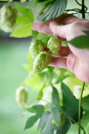 lupulus: Hop harvest. Hand picking up hop cones. Hop plan Humulus lupulus Magnum. Selective focus. Copy space.