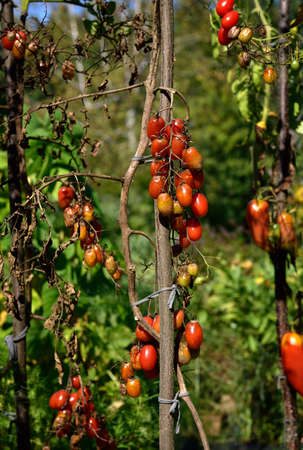 fungal disease: Tomato fungal disease - late blight (Phytophthora infestans). Brown rotting outdoor tomatoes in a garden. Copy space. Stock Photo