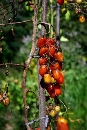 fungal disease: Tomato fungal disease - late blight (Phytophthora infestans). Brown rotting outdoor tomatoes in a garden.