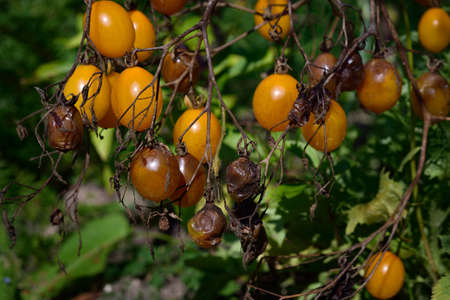 tomatoes: Tomato fungal disease - late blight (Phytophthora infestans). Brown rotting outdoor tomatoes in a garden.