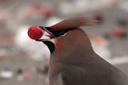 bohemian: Bohemian Waxwing eating berry during winter migration in EU
