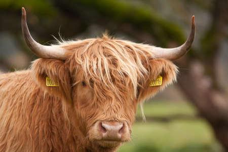 vee: Koe sluiten Stockfoto