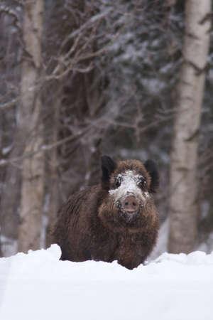 sanglier: Le sanglier en hiver