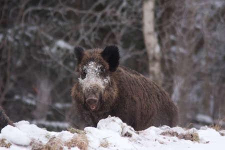 Wild boar in the winter photo