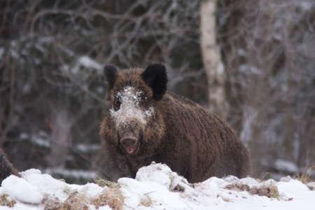 Wild boar in the winter photo