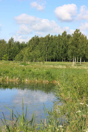 Russian landscape. Pond, meadow and birch grove