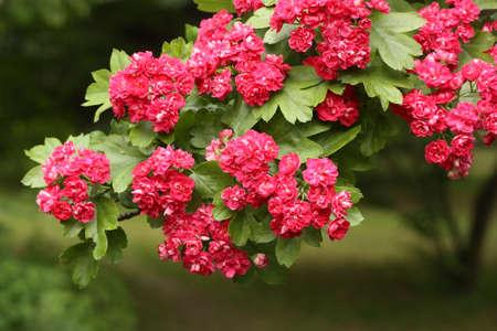 Zweigstelle der Blüte Hagedorn, kultiviert Doppelt-verzierte mit Blumen Sorte
