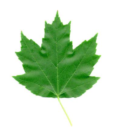 A closeup macro photo of a Freeman Maple Leaf during the Summer season