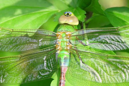 Female Common Green Darner dragonfly resting on leaves in morning light