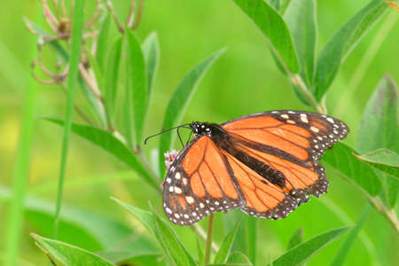 Close-up photo of a beautiful Monarch Butterfly feeding on the nectar of a swamp milkweed flower Stock Photo