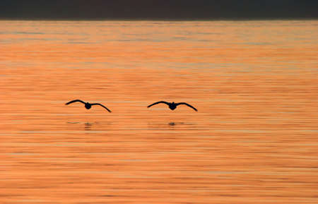 Silhouette of Canada Geese Flying Over Water at Sunset Stock Photo