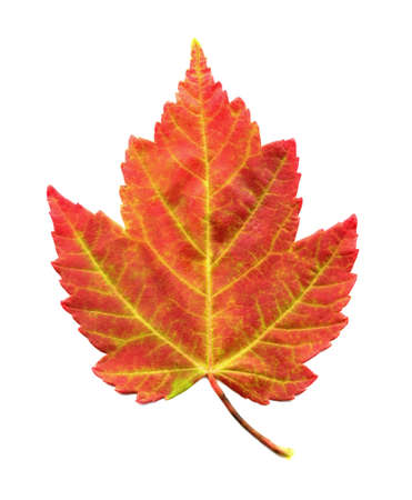 A closeup macro photo of a Red Maple Leaf as it is in the process of changing colors during the Autumn season Stock Photo