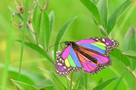 トウワタ花の蜜を食べて美しいマルチカラー オオカバマダラのクローズ アップ写真 写真素材