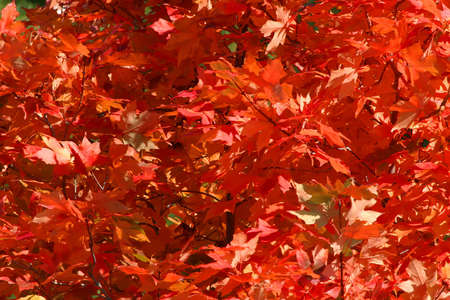 transforms: Red Maple Leaves in Fall or Autumn Colors Stock Photo