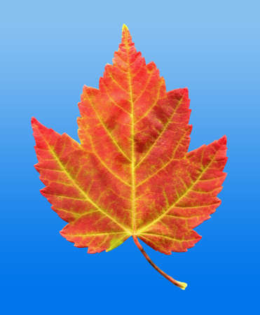 A closeup macro photo of a Red Maple Leaf as it is in the process of changing colors during the Autumn season on a clear blue sky background
