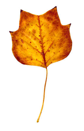 A closeup of a grungy Yellow Poplar leaf in fall or autumn foliage colors isolated against a white background