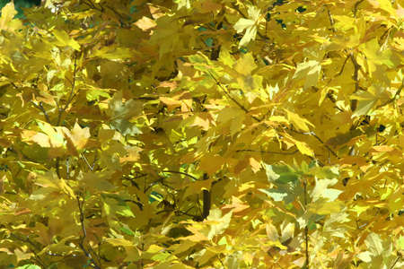 Maple Leaves in Fall or Autumn Colors