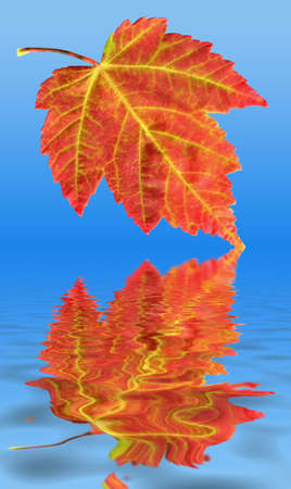 A closeup of a colorful Red Maple Leaf during the Fall or Autumn season as it is in the process of falling into water. photo