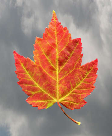 A closeup of a Red Maple Leaf as it is in the process of changing colors during the Autumn season with a cloudy sky in the background