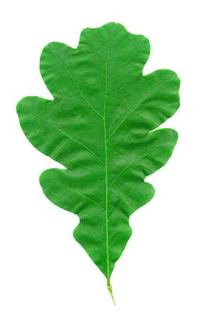 A closeup macro of an Oak Leaf during the Summer season photo