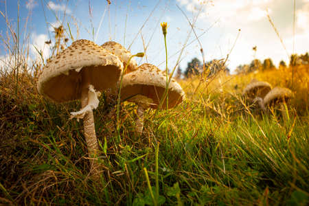 Golden Hour Mushrooms with grass background. 写真素材