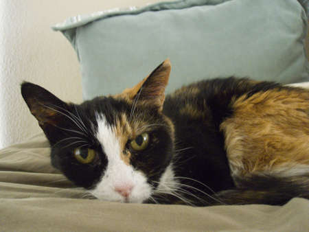 Calico Cat on Bed Stock Photo