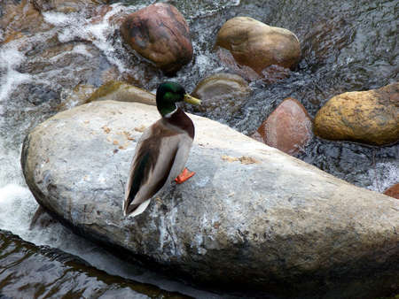 Duck on a rock in San Diego Zoo photo