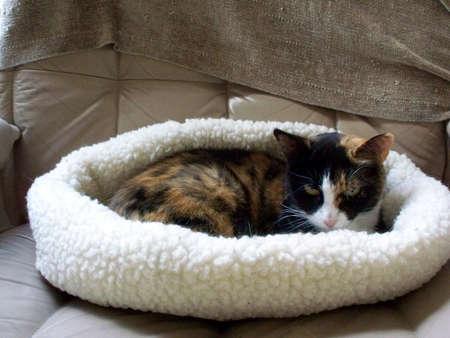 calico cat: Calico cat in bed