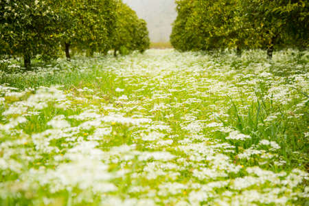 surrounded: Beautiful flower meadow in springtime surrounded by orange trees