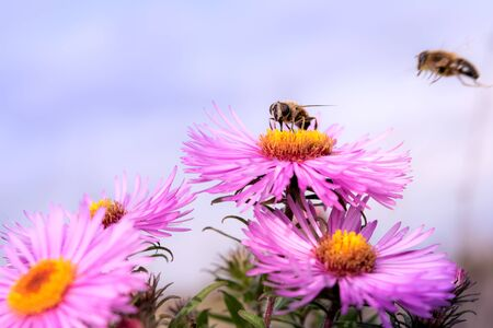 Wild bee collects nectar from a wildflower Astra Reklamní fotografie