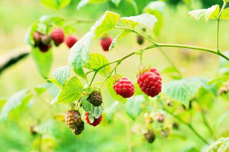 bush to grow up: Wild raspberry bush in nature