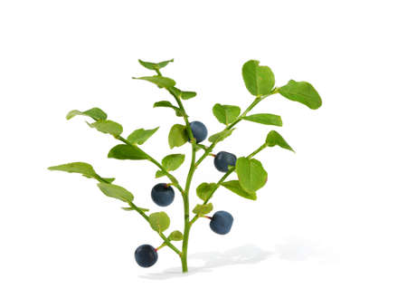 epicure: Blue ripe blueberries isolated on white background