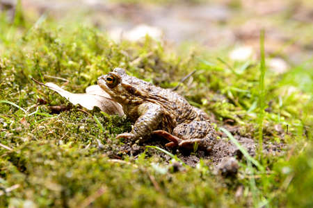 Frog Toad sitting in moss and leaves