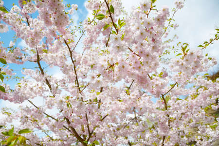 Flower ornamental cherry with spring atmosphere and blue sky