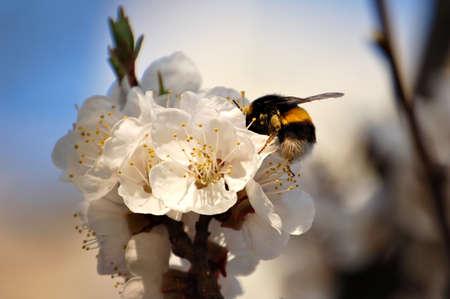 Moscardón - insectos peludas grandes cosechas néctar de flores de albaricoque. Foto de archivo - 9397288