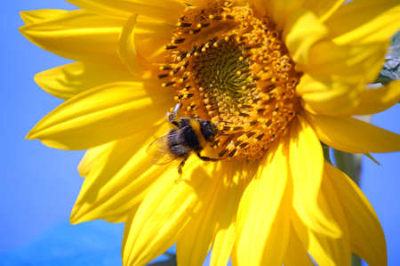 bumblebee collecting pollen and nectar on a sunflower high up in the sky photo