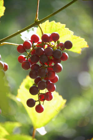 a bunch of ripe, juicy grapes photo