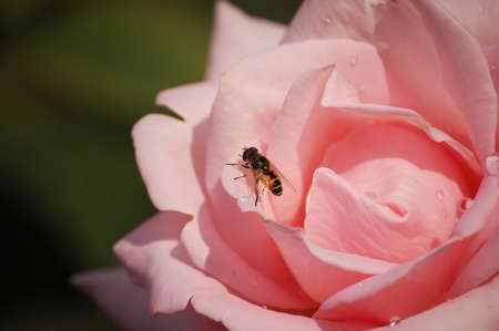 Close-up photo Insect bee on rose Flowers photo